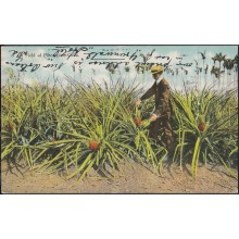 POS-352 CUBA POSTCARD HAVANA. HABANA 1907. PLANTACION DE PIÑAS. FIELD OF PINEAPPLE TO US.